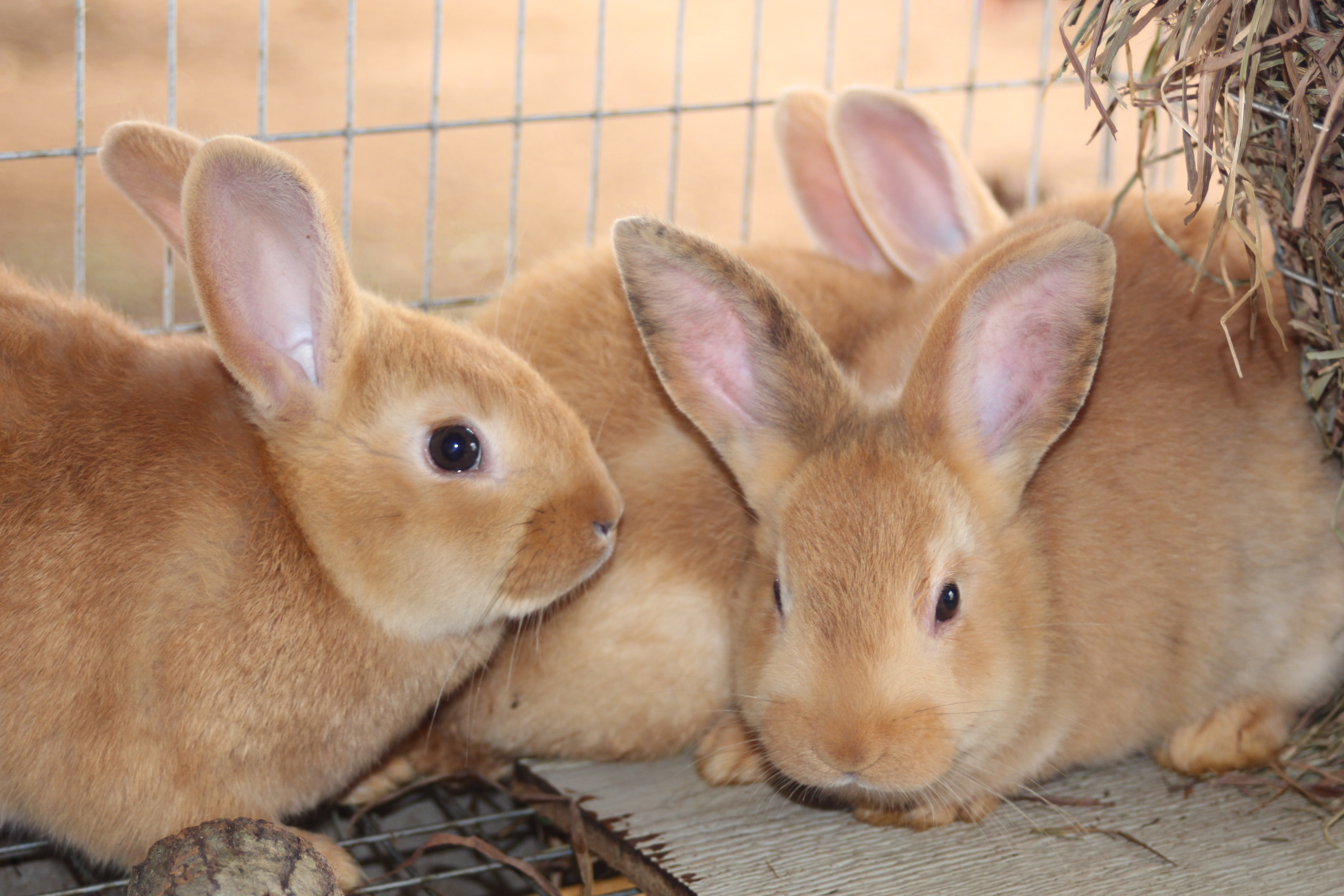 NW, Red/White Cross Rabbits