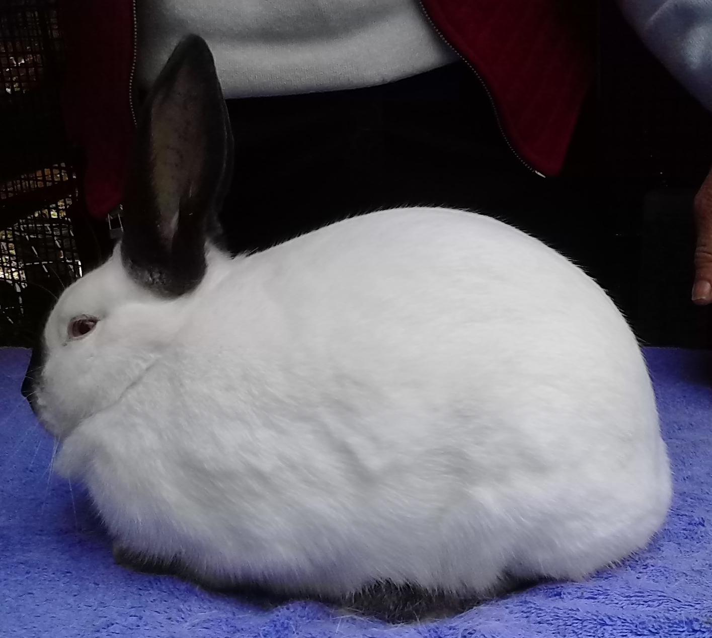 Holland Lops, New Zealands, Californian Rabbits