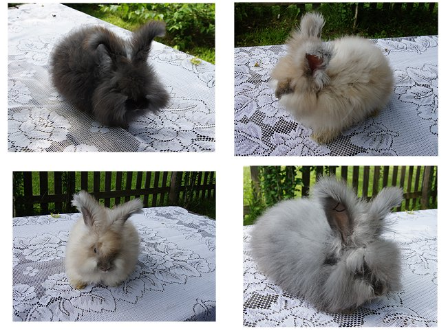 English Angora Rabbits
