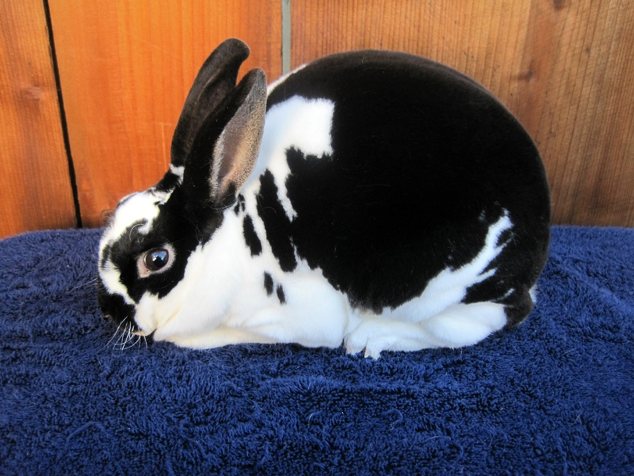 Mini Rex Rabbit Breed