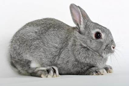 Netherland Dwarf Rabbit Breed
