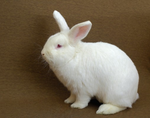 New Zealand Rabbit Breed