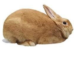 Palomino Rabbit Breed