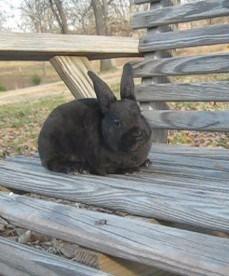 Pedigreed Mini Rex Rabbits