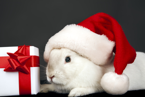 Blue Eyed White Holland Lop