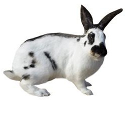 Rhinelander Rabbit Breed