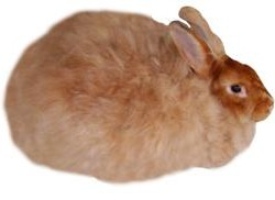 Satin Angora Rabbit Breed
