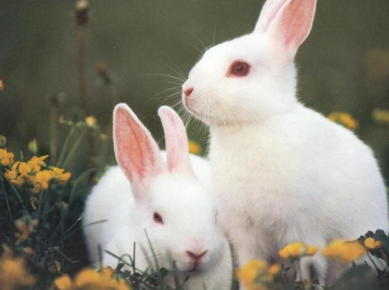 Satin Rabbits for Sale