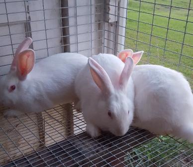 New Zealand/Californian mix Rabbits