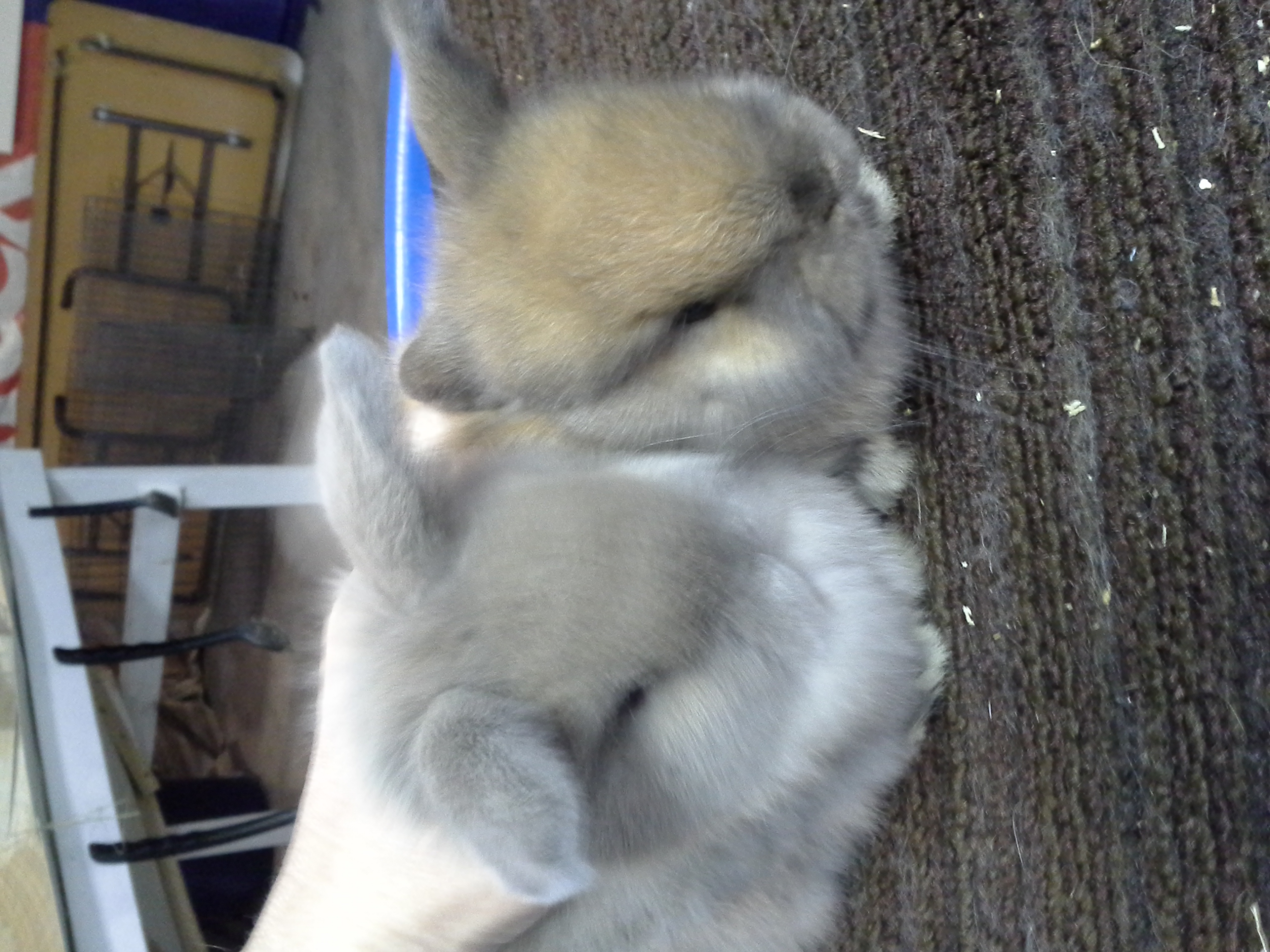 Holland Lop Babies Rabbits
