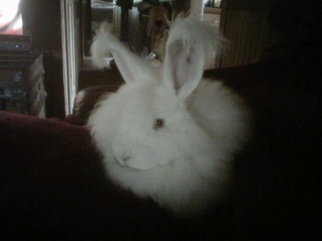 Giant Angora Rabbits