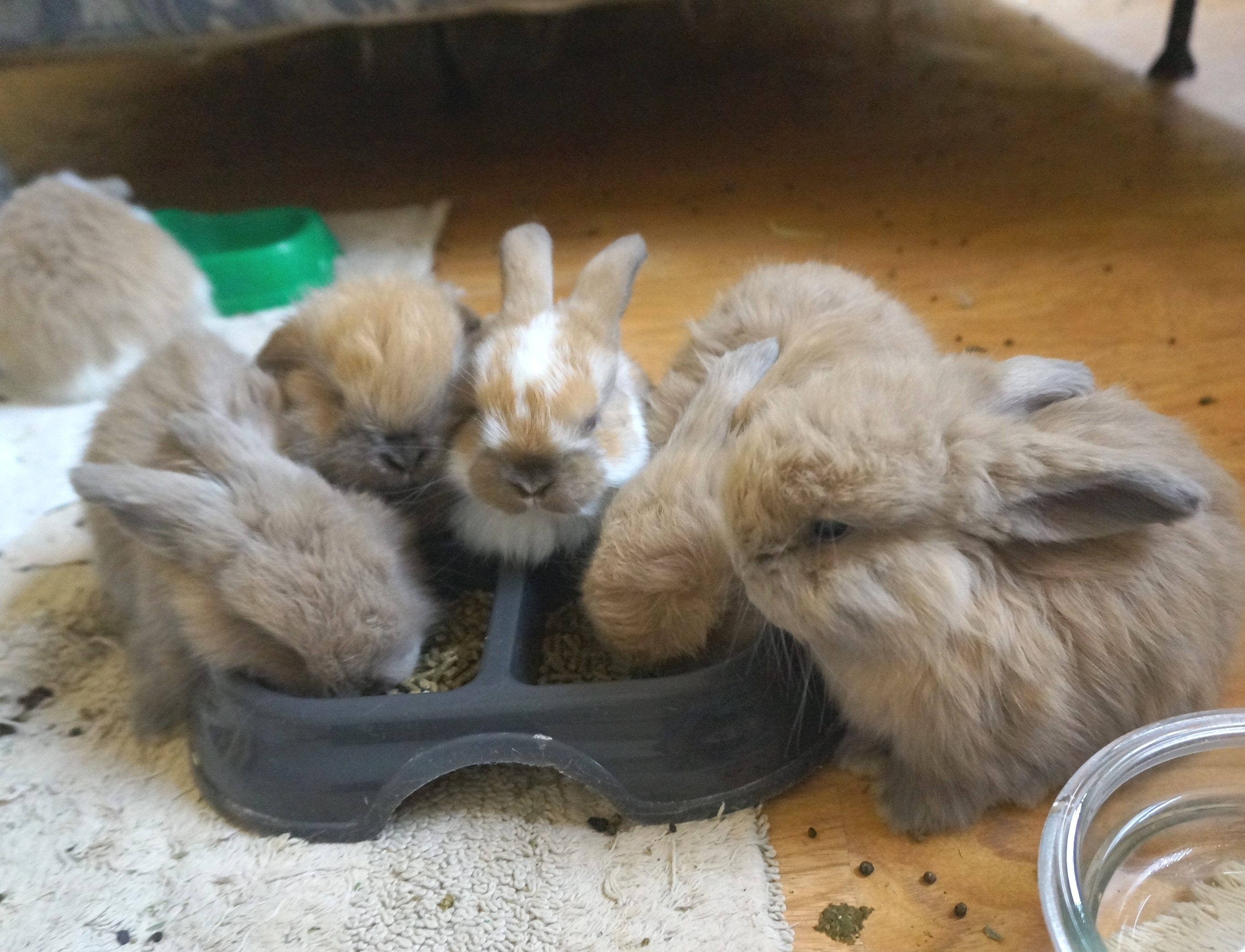 Mini Lop Ear Bunnies and Angora Lop Rabbits