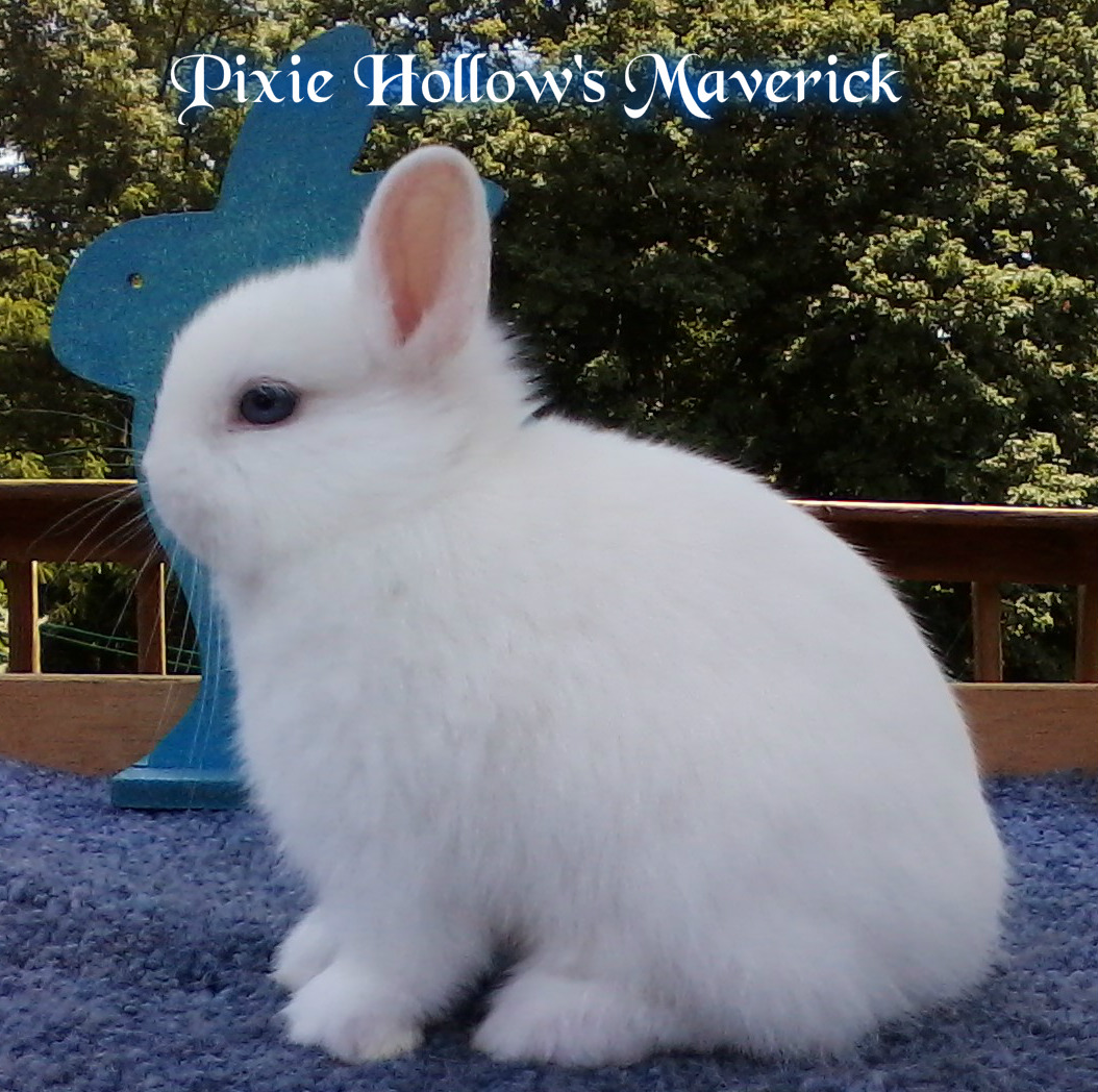 Blue Eyed White Netherland Dwarf Rabbits