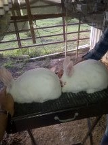 New Zealand White and Californian Rabbits