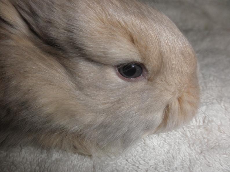 French Angora Rabbits