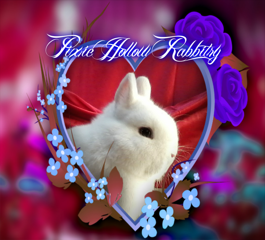 Netherland Dwarf Rabbits For Sale In Pa