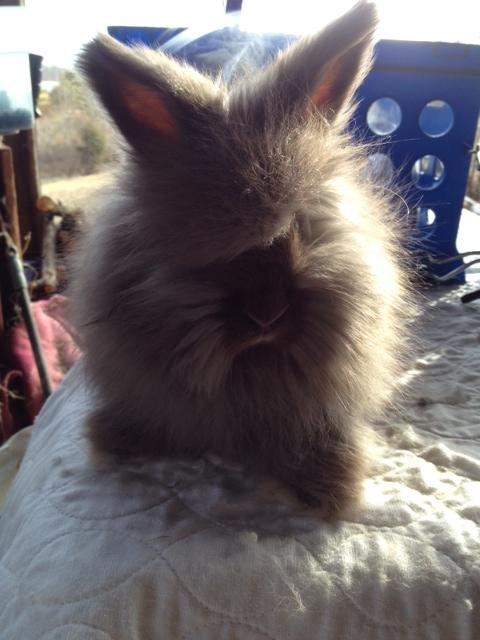 English Angora Kits For Sale In Nc Usa Rabbit Breeders