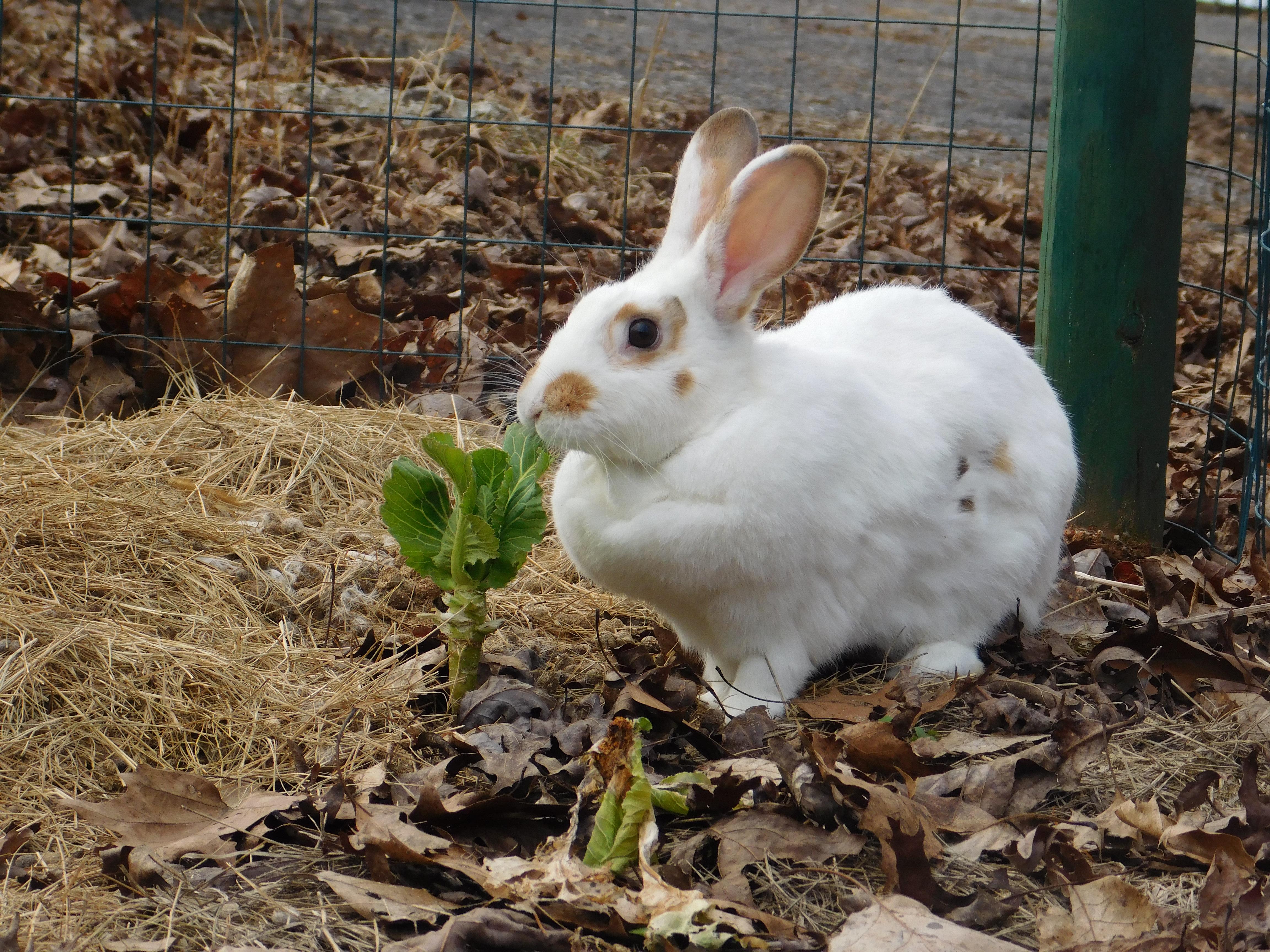 Palomino Mix Rabbits